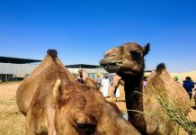 Kamel i Abu Dhabi